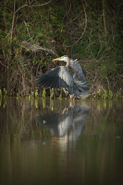 """""""Swirl"""" Great Blue Heron Photography Art   Cooper Captures Gallery"""