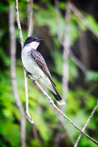 Kingbirds