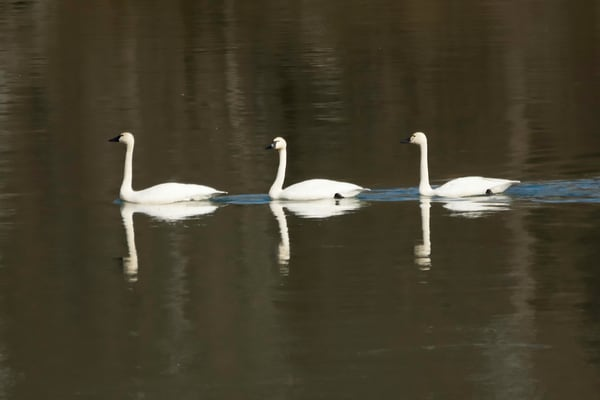 Three Swans Photography Art | Cooper Captures Gallery