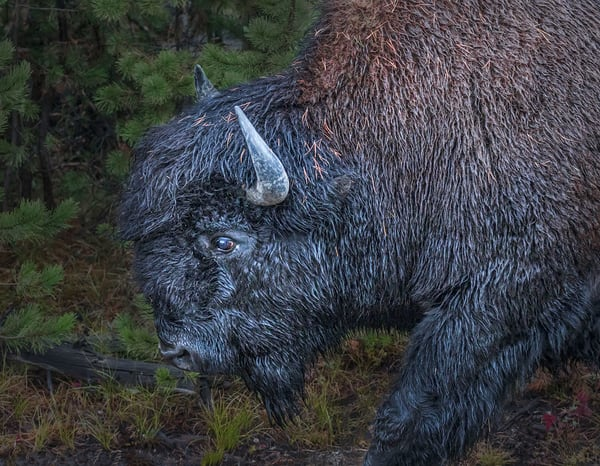 Portrait of an American Bison — a symbol of American stoicism.