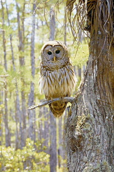 Barred Owl Art | Cunningham Gallery