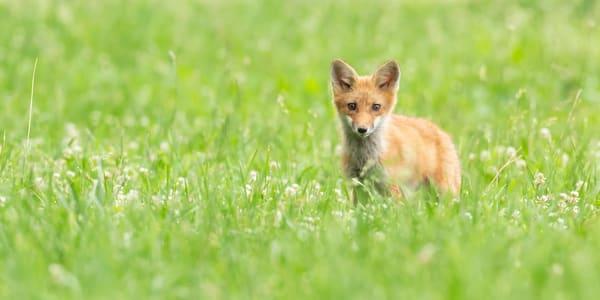 Fox Kit Photography Art | Deb Little Photography