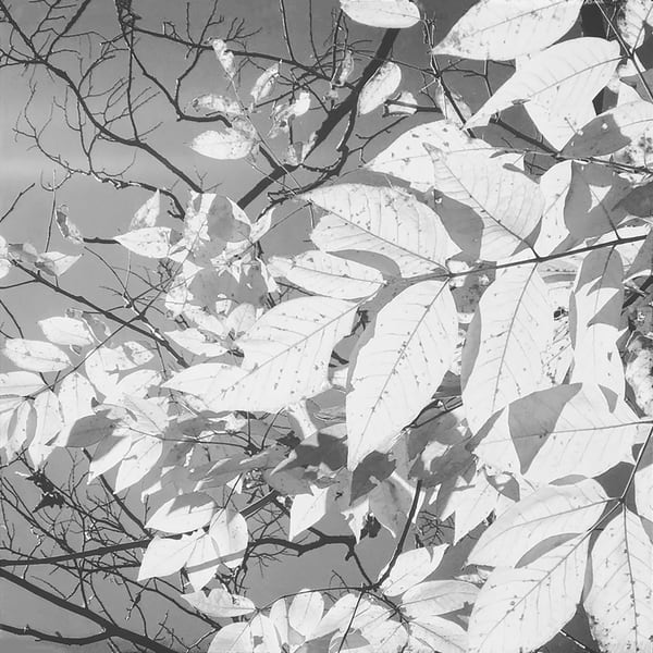 sunlit-leaves, black&white, nature, photograph, print