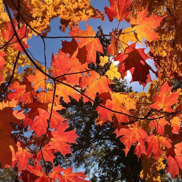 sunlit-maple-leaves, nature, autumn-leaves, maple-leaves, orange-red