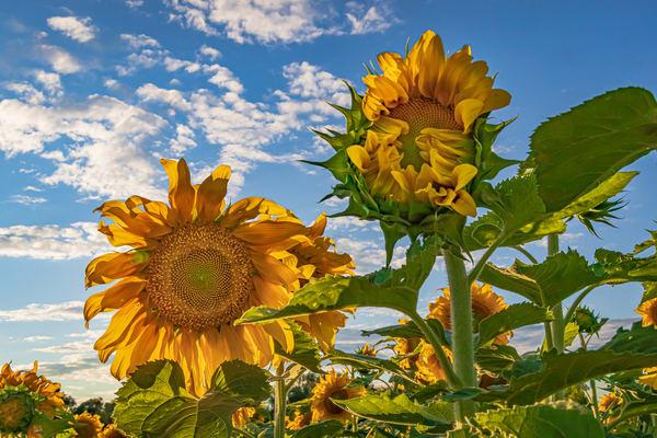 Sunflowers  Photography Art   Nelson Rudiak Photography