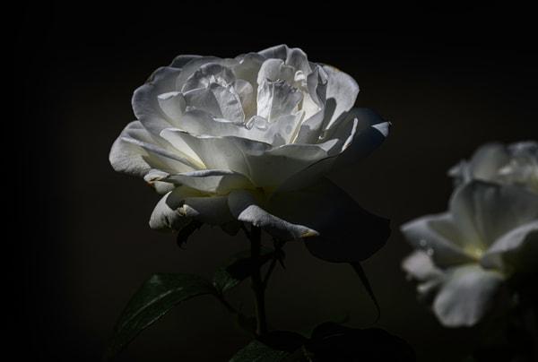 White rose Schenectady rose garden