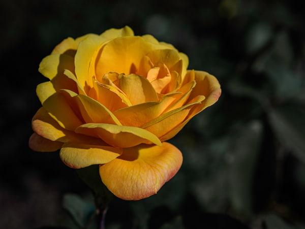 close up of orangerose