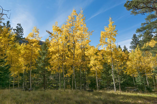 Golden forest fall colors northern Arizona