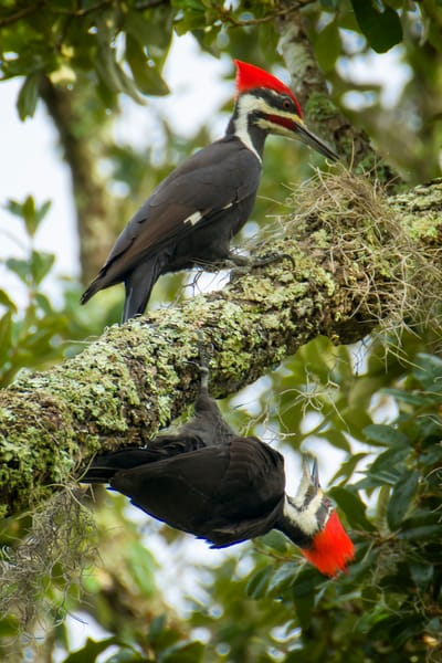 A Pair of Pileated Woodpeckers on a Branch