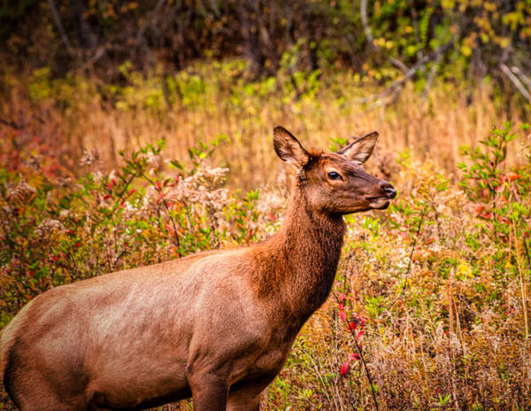 Cow Elk In Autumn Photography Art | Grace Fine Art Photography by Beth Sheridan