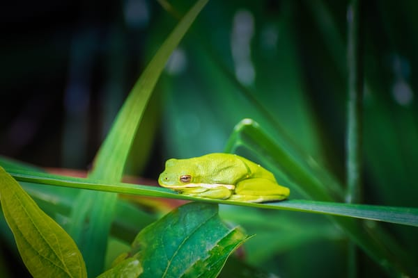 Green Tree Frog Photography Art | Beth Sheridan, Grace Fine Art Photography