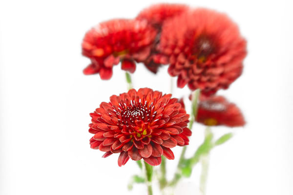 Red Mums Photography Art   Grace Fine Art Photography by Beth Sheridan
