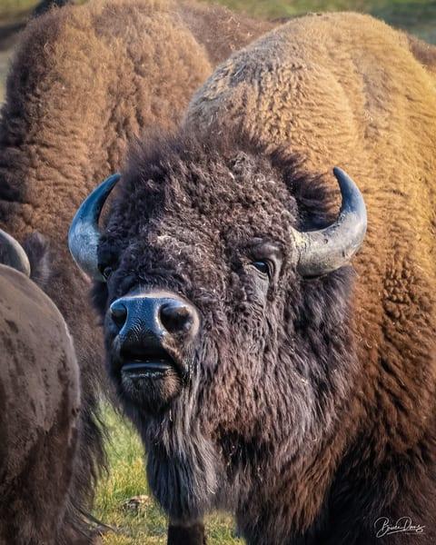 Yellowstone bull bison portait