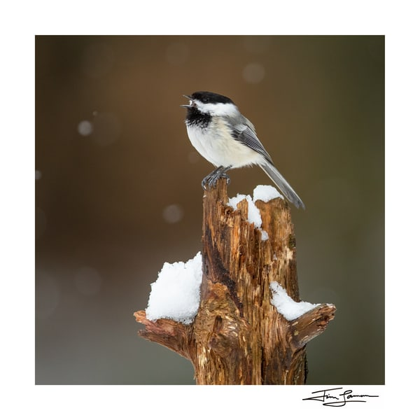 Chickadee On Snag Photography Art | Tim Laman