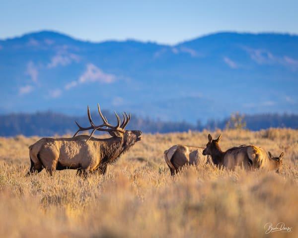 The elk rut at Grand Teton National Park