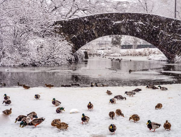 Ducks In Central Park Photography Art | Ben Asen Photography