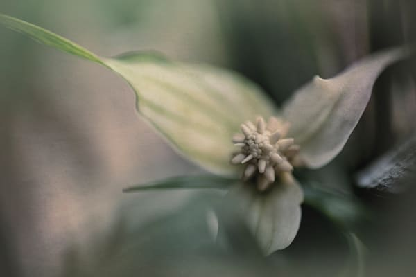 Peace Lily Photography Art | Kathleen Messmer Photography