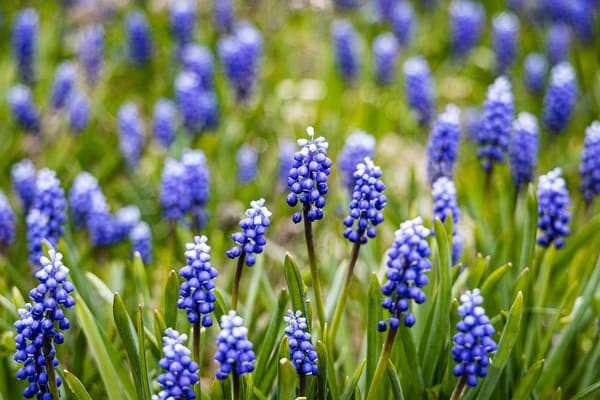 Grape Hyacinths Photography Art   Nelson Rudiak Photography