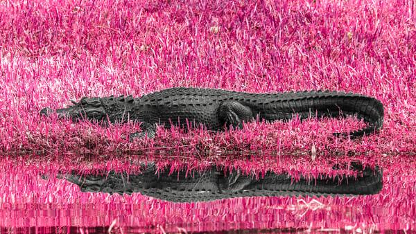 Alligator Infrared Photography Art | KPBPHOTO