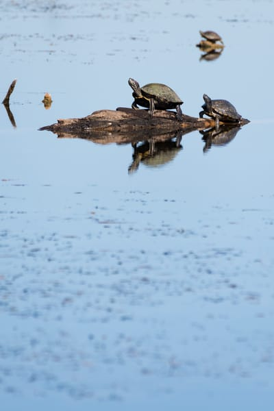 Turtle Reflections Vertical, Damon, Texas