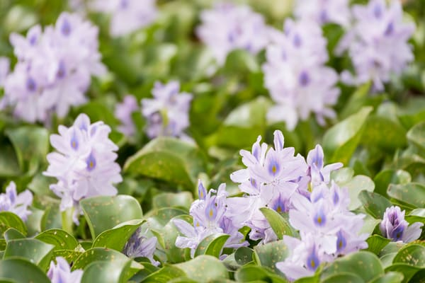 Hyacinth Flower Field, Damon, Texas