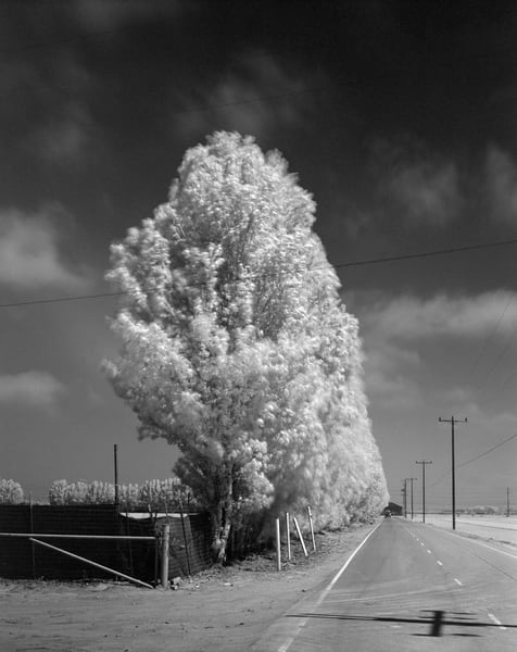 California Landscape Photography - Poplar Trees in Windstorm