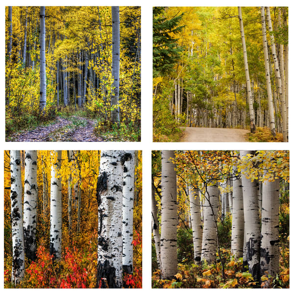 Aspen Trees Coaster Set | Ken Smith Gallery