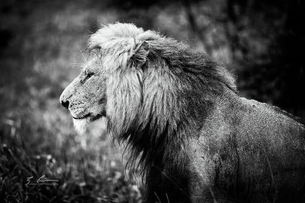 Lion Photography Art | Casey Chinn Photography LLC