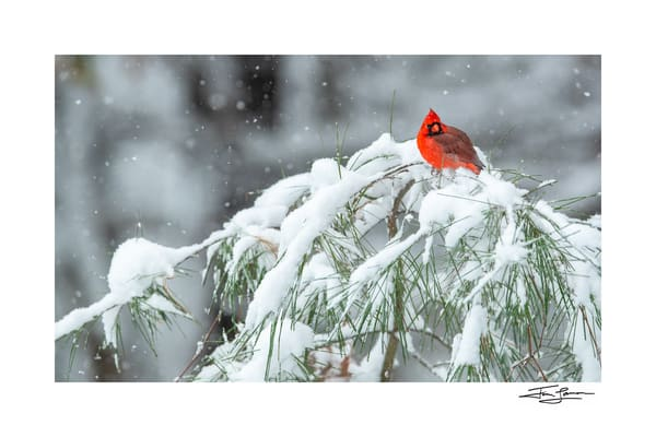 Northern Cardinal on a snow covered white pine.