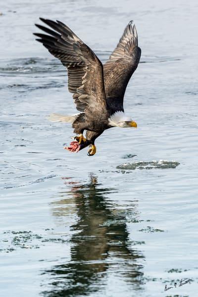 Flying Salmon Breakfast Art   Alaska Wild Bear Photography