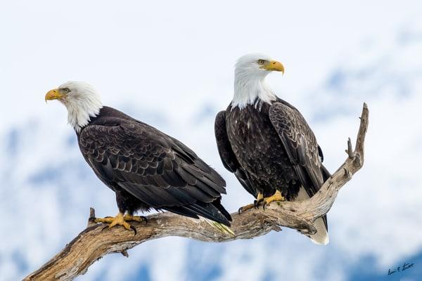Portrait Of Two Eagles Art | Alaska Wild Bear Photography