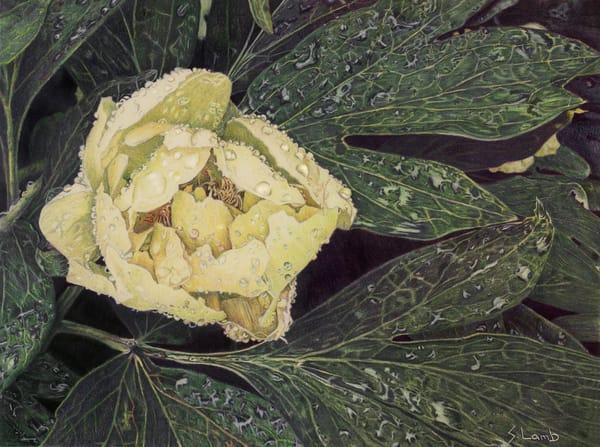 flower,art,realism,peony,rain