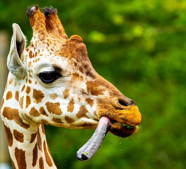 Giraffe with his tongue out photograph
