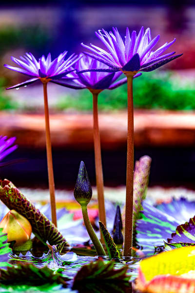 Three tall purple lotus flowers in a pond at the Birmingham Zoo.