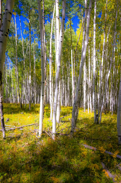 Autumn Aspen Photography Art | Silver Spirit Photography