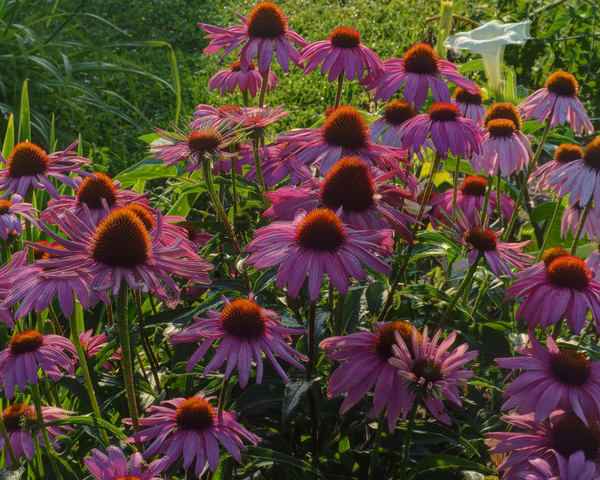 Alice's Coneflower Flash Sale
