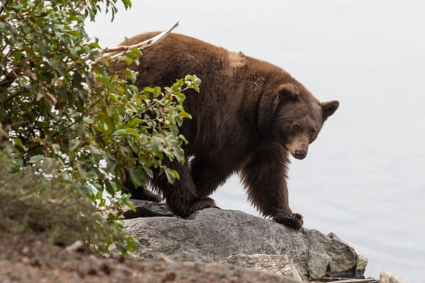 Brown Bear On The Prowl Photography Art | Leiken Photography