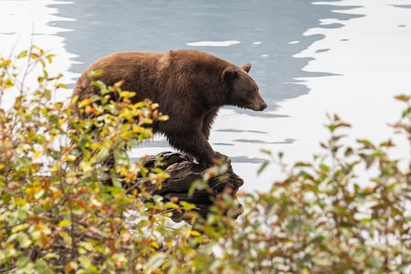Fishing Bear Photography Art | Leiken Photography