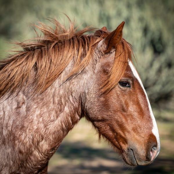 Salt River Wild Mustang Portrait