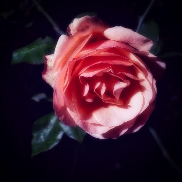 C'est Une Rose Art | Martin Geddes Photography