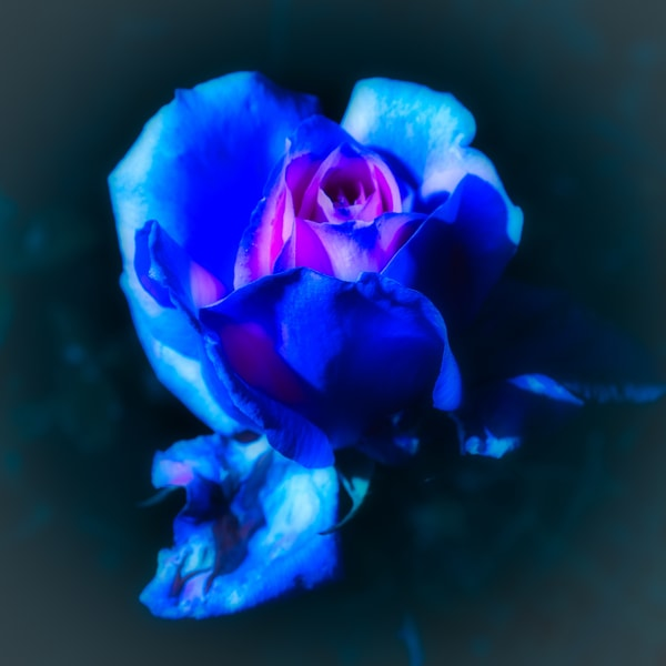A Rose Is A Rose (Even In Blue) Art | Martin Geddes Photography