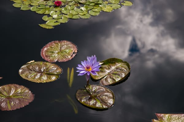 Water Lillies and Sky