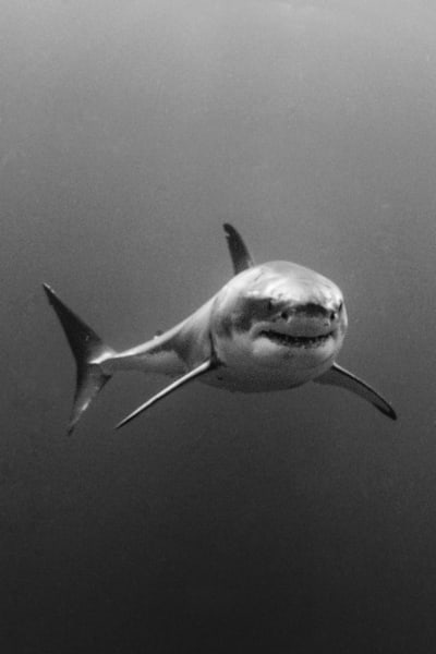 Approaching Shark is a dramatic black and white photograph available as a fine art print for sale.