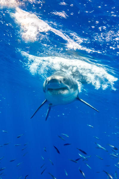 Fat Face is a face on portrait of a great white shark available as a fine art photograph for sale.