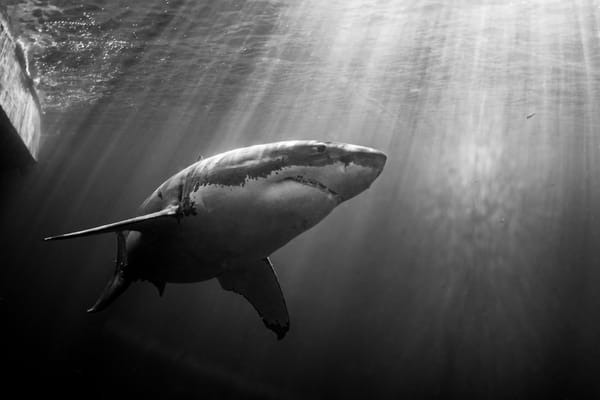 Dramatic Shark is a black and white portrait available as a fine art photograph for sale.