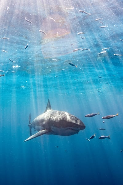 Shark Under Sunrays is a fine art photograph available for sale.