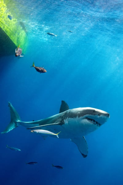 White Shark is a photograph of a Great White Shark available as a fine art print for sale.