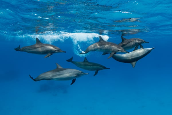 Play School is an underwater fine art photograph of dolphins available for sale.