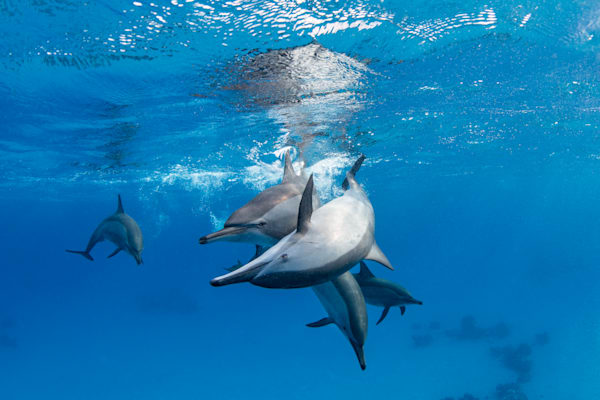 Pod of Dolphins is an underwater fine art photograph available for purchase.