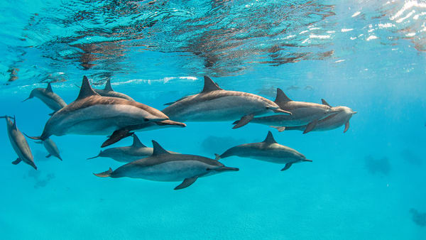 Pod of Spinners is a fine art photograph of dolphins available for sale.